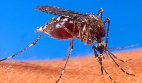 Zika-Virus und Dengue-Fieber – Mücken verbreiten Viren um die Welt!
